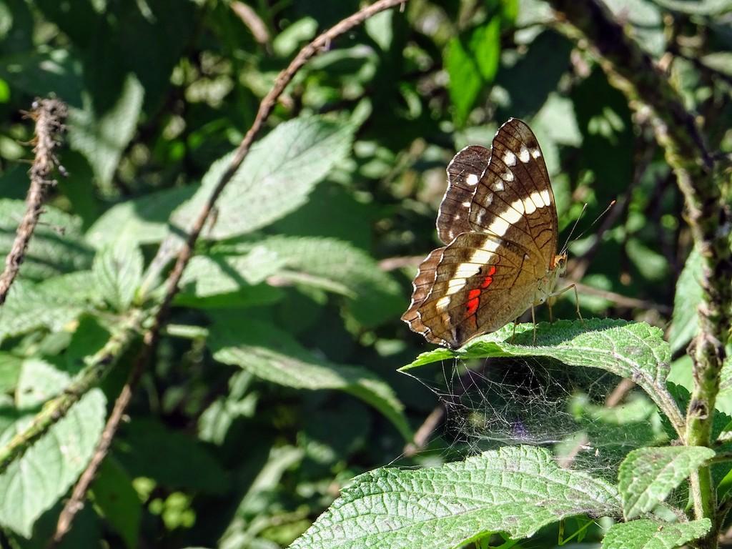Costa Rica Manuel Antonio National park butterfly