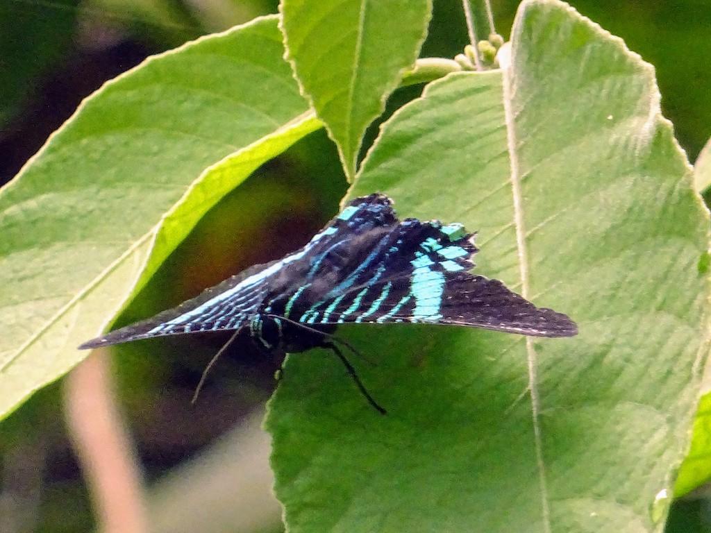 Costa Rica Manuel Antonio National park butterfly1