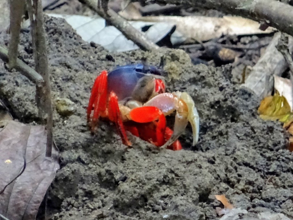 Costa Rica Manuel Antonio National park crab