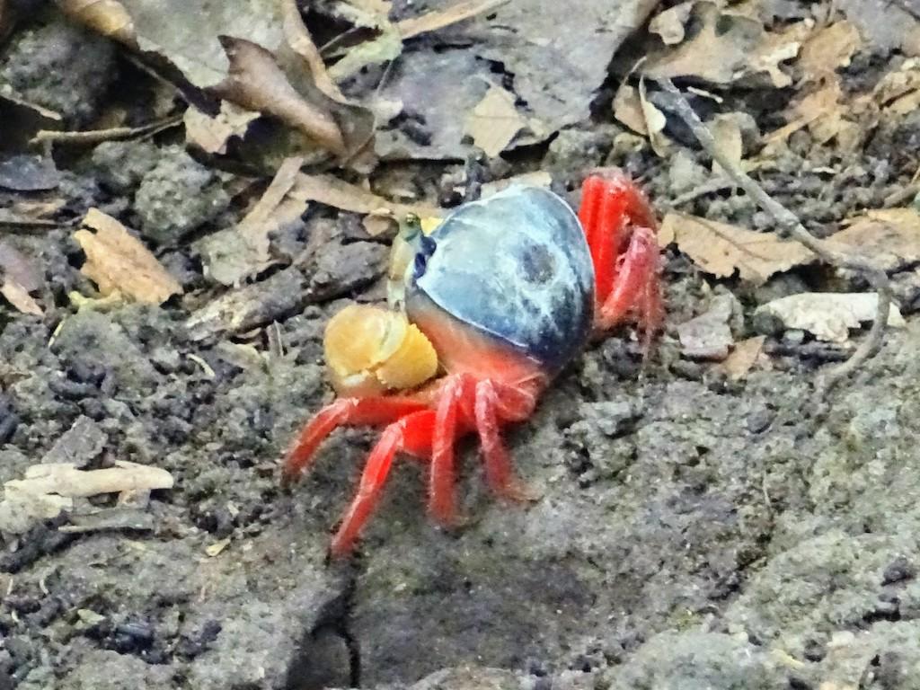 Costa Rica Manuel Antonio National park crab1