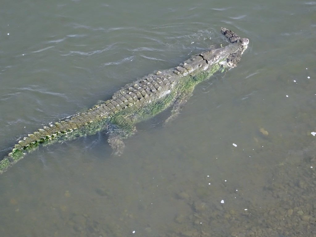 Costa Rica Manuel Antonio National park crocodiles1