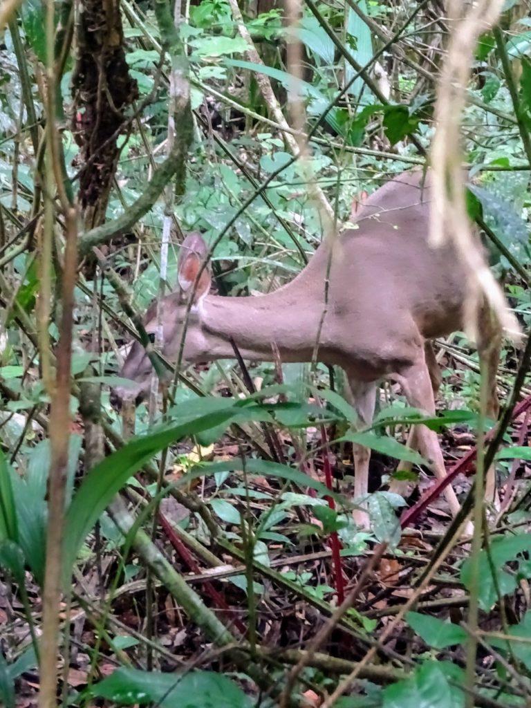 Costa Rica Manuel Antonio National park deer