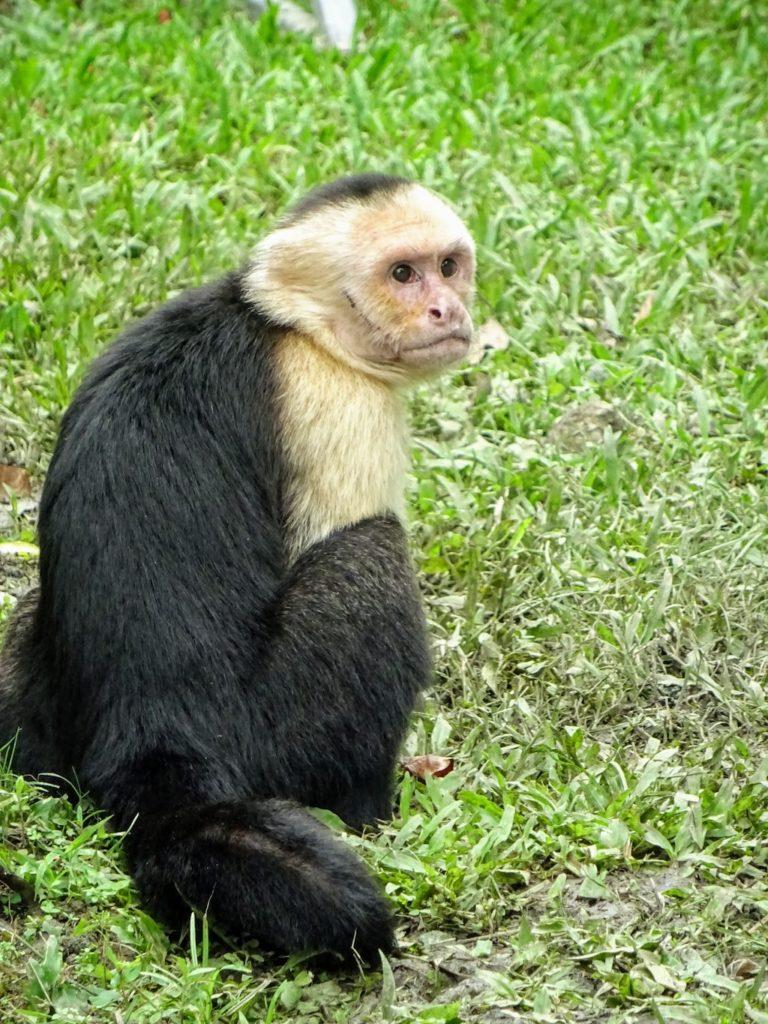 Costa Rica Manuel Antonio National park monkey1