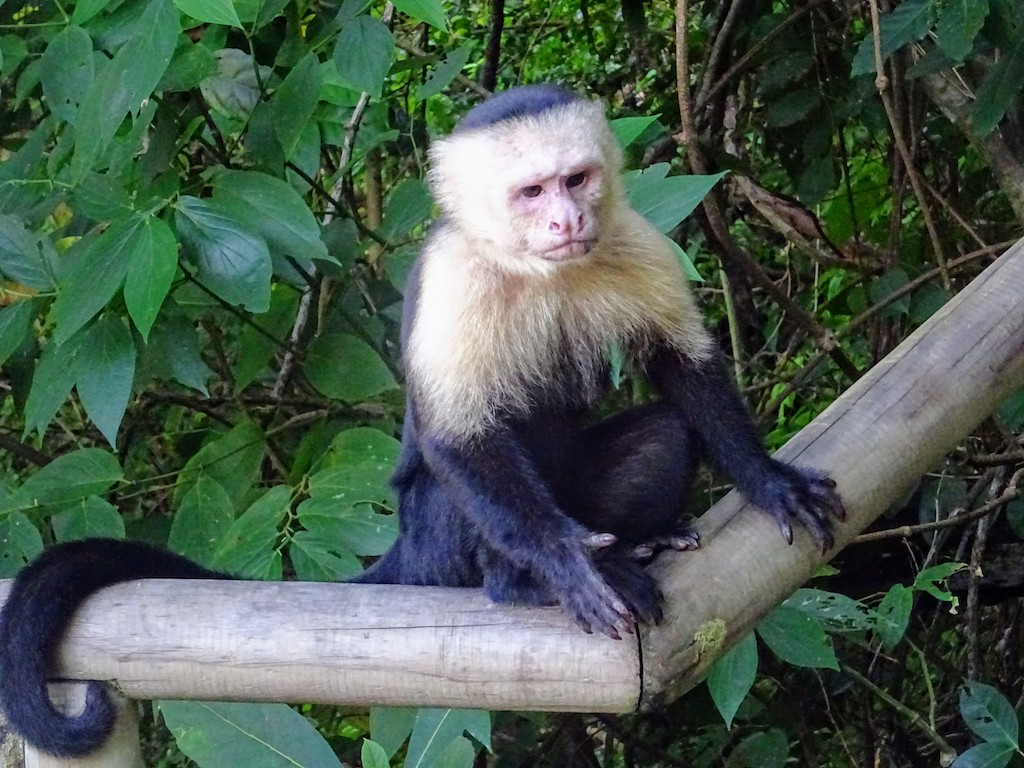 Costa Rica Manuel Antonio National park monkey2