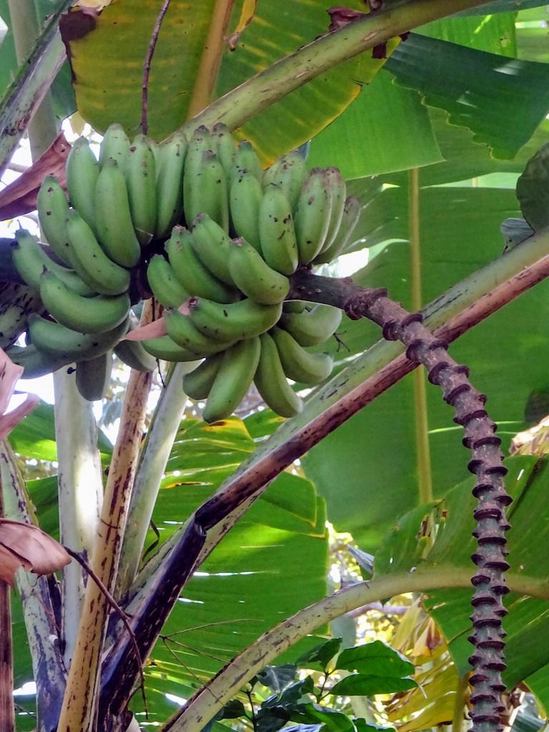 Costa Rica Régime de bananes