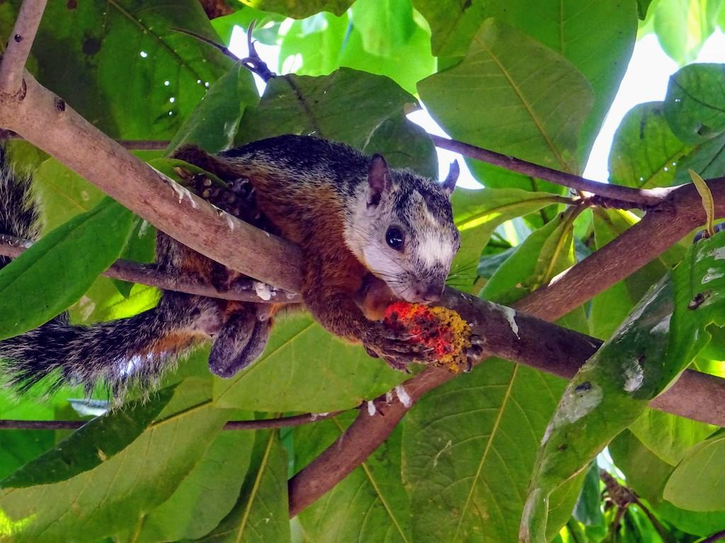 Costa Rica Tamarindo ecureuil