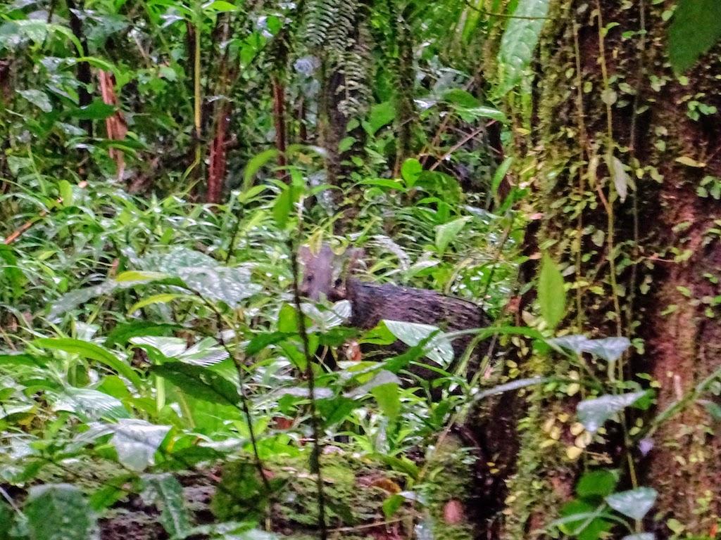 Costa Rica Arenal national park pumba