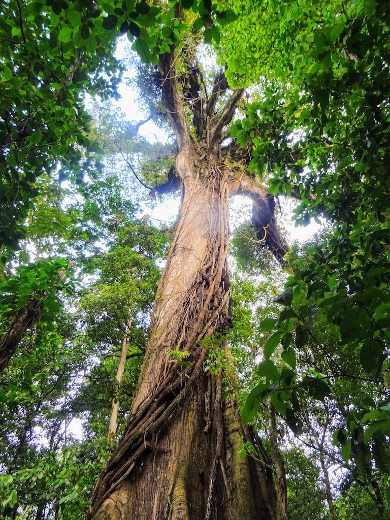 Costa Rica Arenal national park tree 2