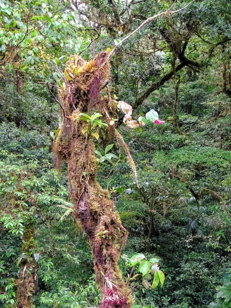 Costa Rica Monteverde Selvatura parc arbre