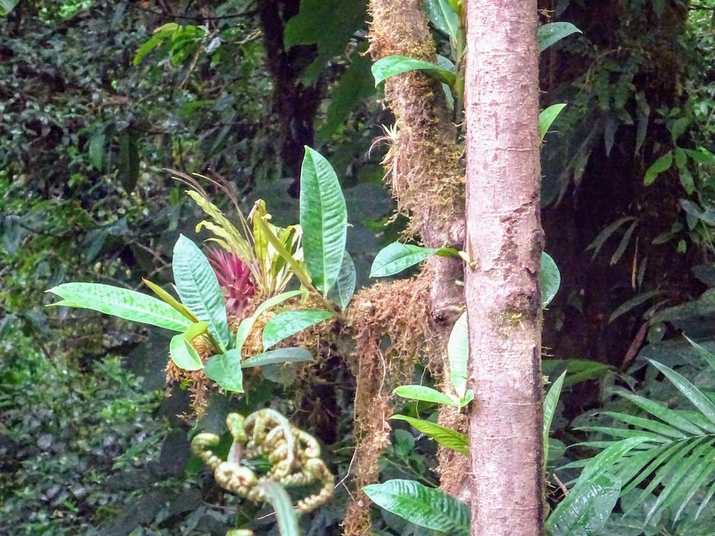 Costa Rica Monteverde Selvatura parc arbre1