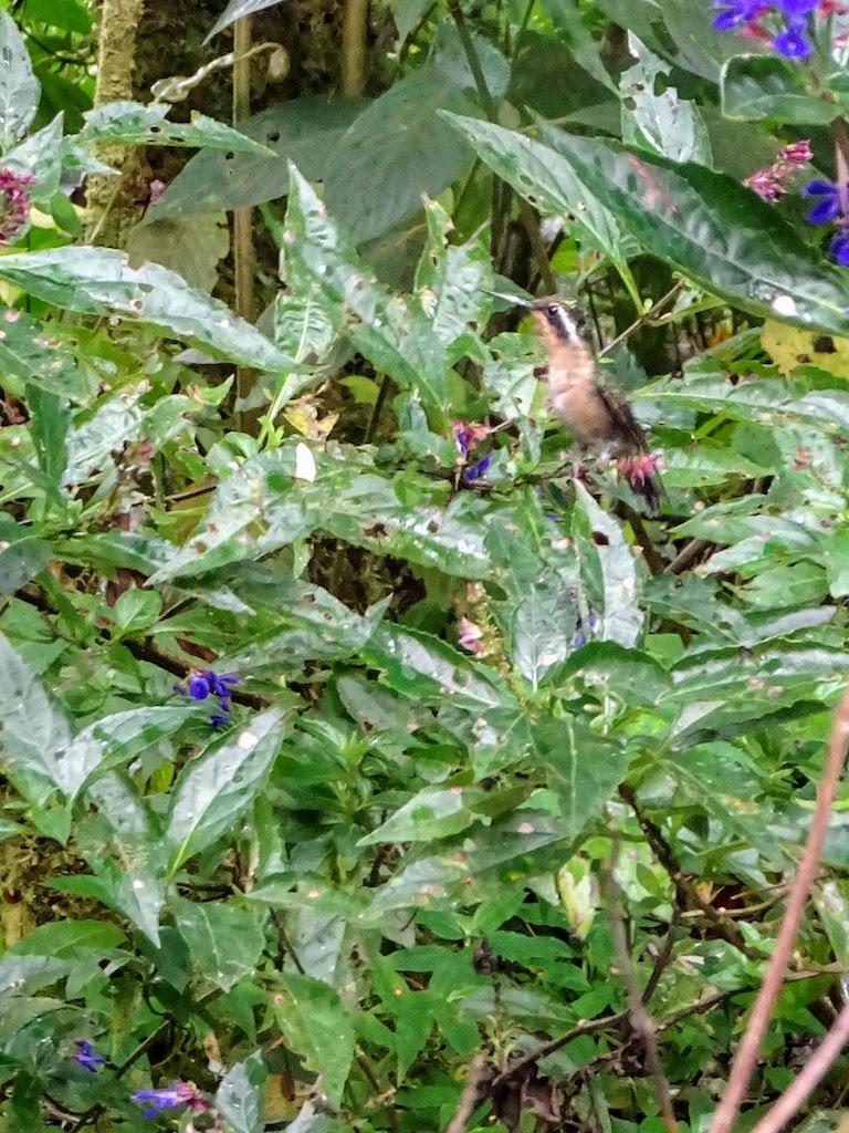 Costa Rica Monteverde colibri