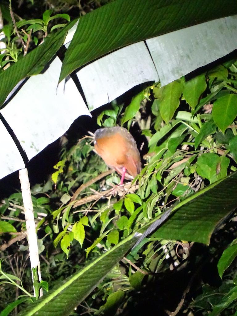 Costa Rica Monteverde promenade de nuit oiseau