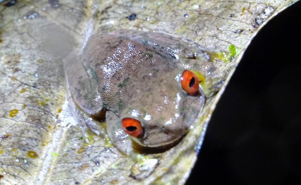 Costa Rica Monteverde promenade de nuit grenouille grise