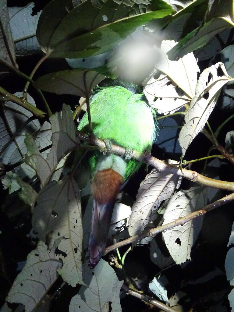 Costa Rica Monteverde promenade de nuit toucan